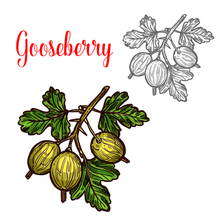 Gooseberry vector sketch icon set Illustration