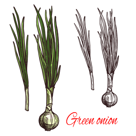 Green onion vegetable isolated sketch of scallion with fresh leaf. White bulb and green stalk of spring onion or leek icon for grocery shop or farm market label design Illustration