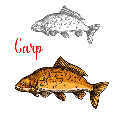 釣りデザインのための淡水魚の鯉のスケッチ  イラスト・ベクター素材