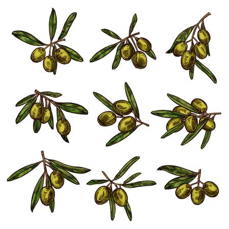 Olive branch with green fruit and leaf sketch Illustration