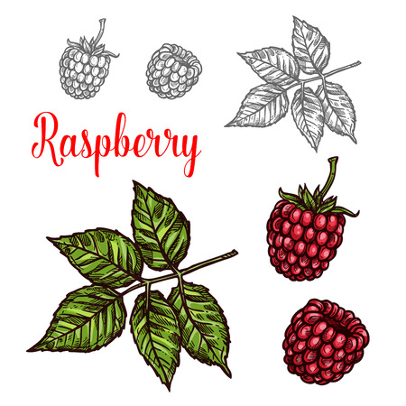 Raspberry fruit sketch of red berry and green leaf 일러스트