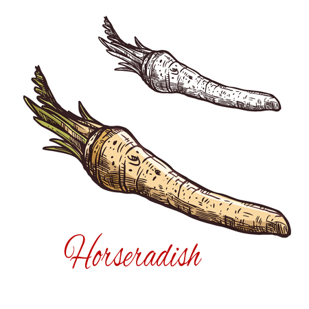 Horseradish vegetable root sketch for spice design