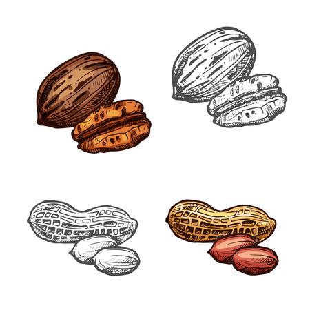 CRou et haricots croquis isolé de cacahuètes et de noix de pécan Banque d'images - 99182940