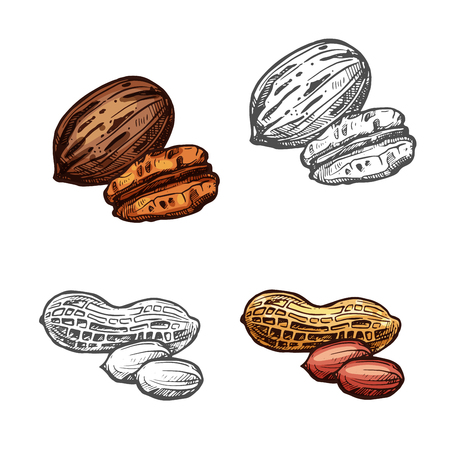 Nut and bean isolated sketch of peanut and pecan