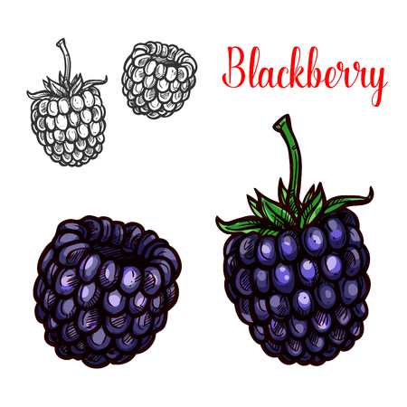 Berry fruit sketch of sweet bramble berry Illustration