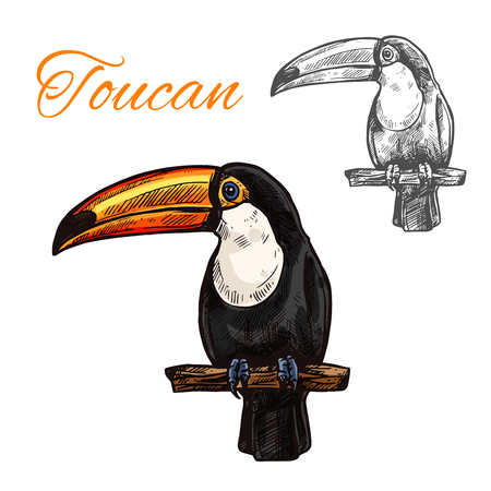 Toucan isolated sketch of tropical exotic bird