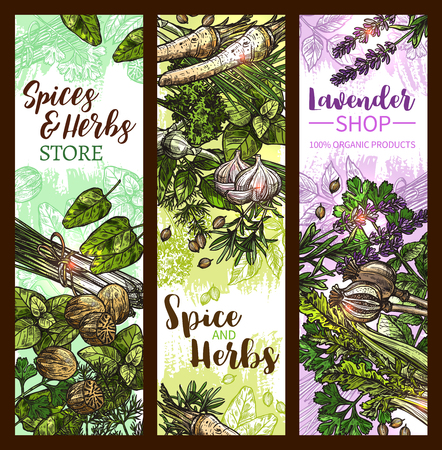 Spice and herb banner with green leaf vegetable, seed and plant root. Basil, rosemary and thyme, mint, bay and garlic, dill, parsley and nutmeg, coriander, lemongrass and poppy, celery and lavender Stock Vector - 99082650