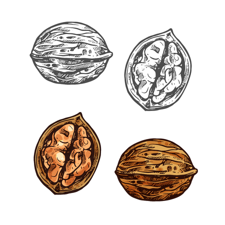 Walnut fruit sketch of whole nut and kernel. Opened nutshell of walnut with brown nut isolated icon for healthy vegetarian snack, superfood and confectionery ingredient design Ilustração