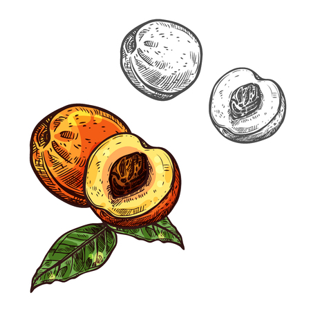 Peach fruit sketch of sweet juicy nectarine. Fresh fruit of peach tree with green leaf isolated icon for fruity drink, natural juice or jam label, vegetarian dessert and food packaging design