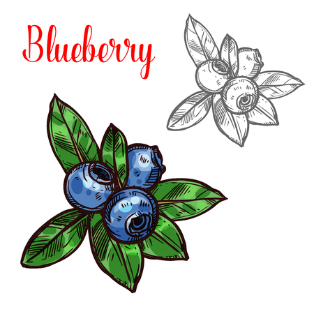 Blueberry vector sketch fruit berry icon