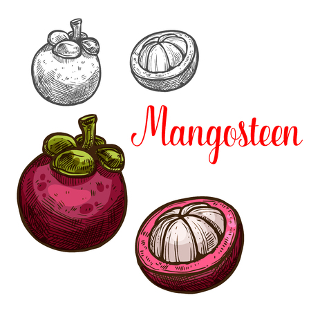 Mangosteen vector sketch fruit cut icon