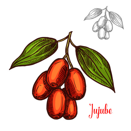 Jujube berry color sketch icon. Vector botanical design of jujube fruits bunch or Chinese date jujuba buckthorn with leaf for juice or jam dessert or farmer market isolated sketch symbol Illustration