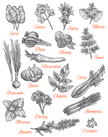 Herbs and spices sketch icons. Vector isolated set of sorrel, cilantro or savory and melissa flavorings, poppy and numteg or fennel spice seasoning, horseradish and garlic vegetable Banque d'images - 100026973