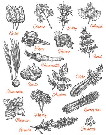 Kräuter und Gewürze skizzieren Ikonen. Vektor isolierter Satz von Sauerampfer-, Koriander- oder Bohnenkraut- und Melissenaromen, Mohn- und Numteg- oder Fenchelgewürzgewürz, Meerrettich und Knoblauchgemüse