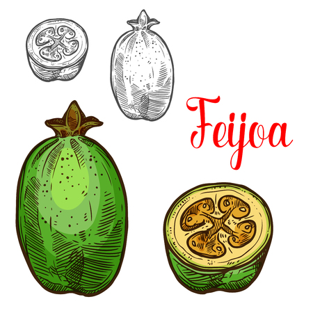 Feijoa fruit sketch color icon. Vector botanical sketch design of exotic tropical pineapple guava or guavasteen whole and slice cut for fruits jam or juice dessert and farmer market