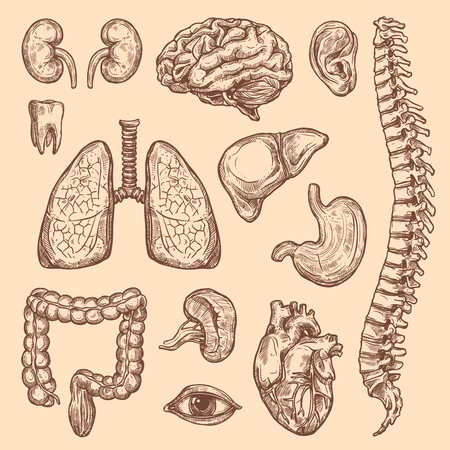Human body anatomy sketch icons of internal organs of digestive, respiratory and vital system. Vector heart, brain or lungs and kidney or bladder, eye, tooth or esophagus and spleen for medical design