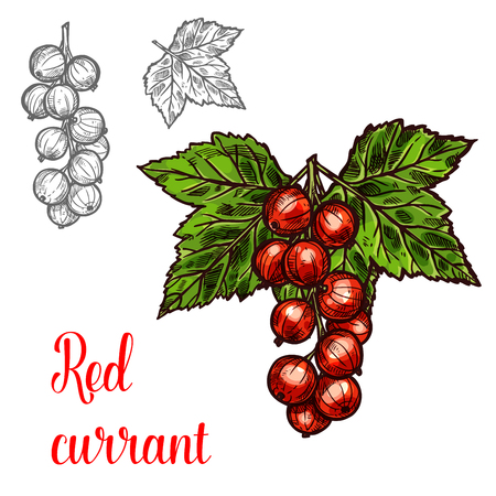 Red currant berry color sketch icon. Vector botanical design of redcurrant berries bunch with leaf for juice or jam dessert or farmer market isolated sketch symbol template Vettoriali