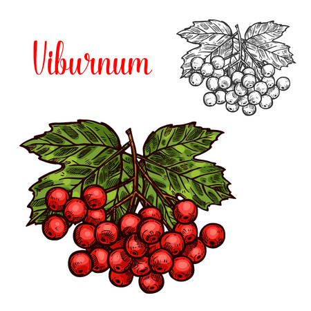 Viburnum fruit sketch of red berry and green leaf