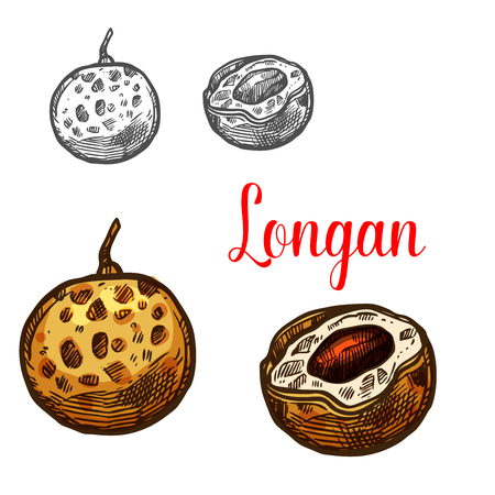 Longan fruit sketch of asian exotic tropical berry Illustration