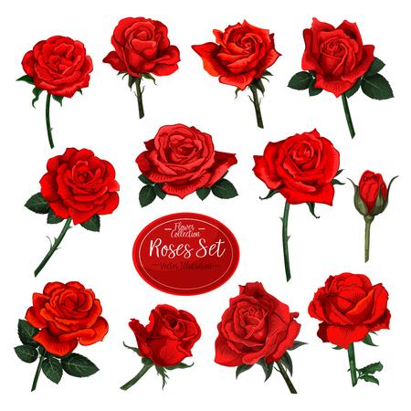 Satz rote Rosenblüte blüht mit grünen Blättern auf weißem Hintergrund