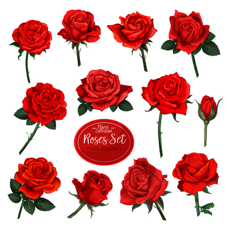 Set of red roses flower blooms with green leaves on a white background