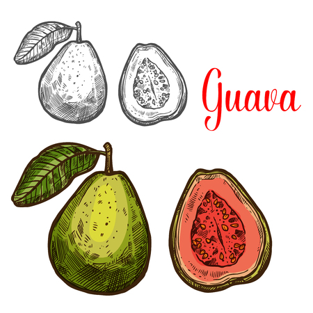 Guava tropical fruit sketch of fresh exotic berry on white vector illustration Illustration