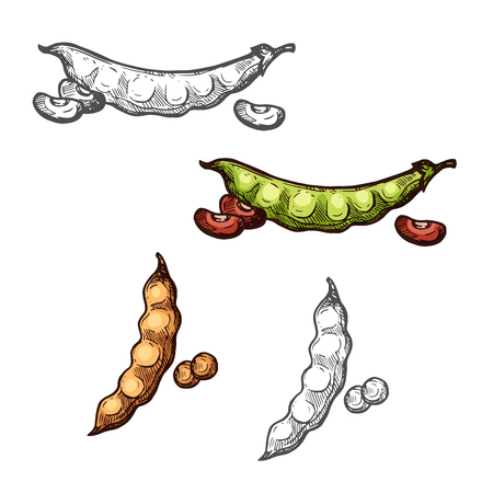 Soy and bean pod vegetable sketch of legume crops Vector illustration.