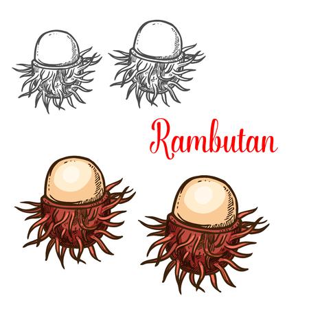 Rambutan tropical fruit sketch of asian berry Vector illustration.