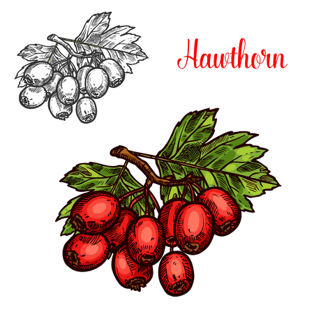 Hawthorn fruit branch sketch with ripe red berry Vector illustration. Stock Illustratie
