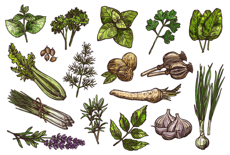 Herbs, spice and condiment sketch of food design Vector illustration.