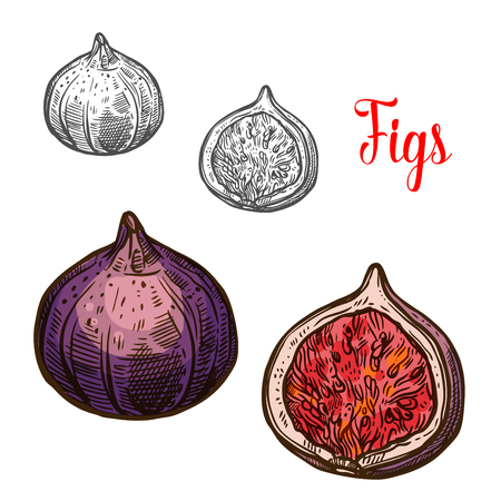 Fig fruit isolated sketch with fresh exotic berry Vector illustration.