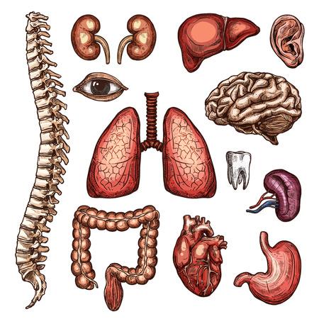 Croquis de partie d'organe, d'os et de corps de l'anatomie humaine Illustration vectorielle.