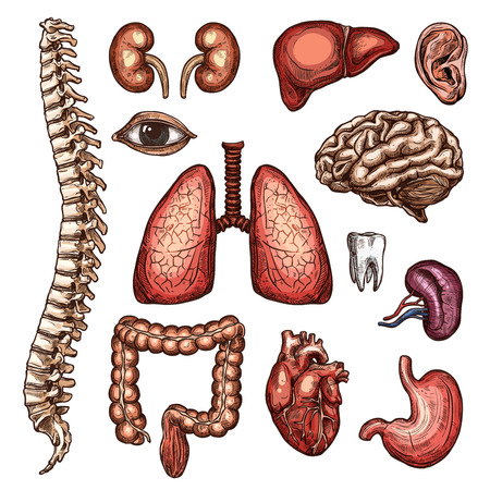 Organ, bone and body part sketch of human anatomy Vector illustration.