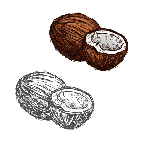 Coconut fruit of tropical palm sketch, food design Vector illustration.