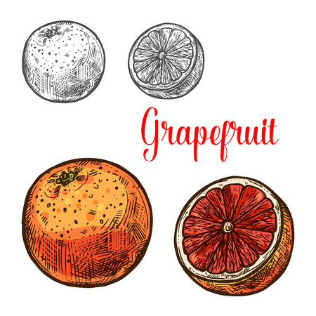 Grapefruit sketch with whole fruit and juicy slice of tropical citrus. Ripe grapefruit with pink peel isolated icon for natural vitamin and juice drink label, healthy vegetarian dessert themes design