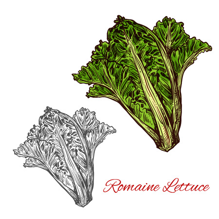 Romaine or cos lettuce sketch of leaf salad vegetable. Fresh bunch of lettuce plant with dark green leaf, light ribs and heart icon for organic farming, vegetarian and diet nutrition ingredient design Illustration