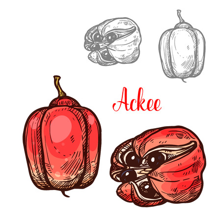 Ackee tropical fruit sketch with ripe red fruit of Jamaican and African evergreen plant. Whole and split ackee with black seed and white aril icon for exotic vegetarian food ingredient design
