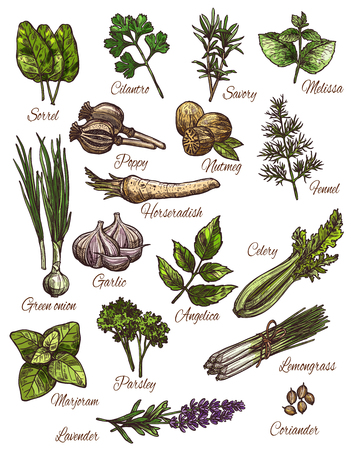 Spice, herb and fresh leaf vegetable sketch design.