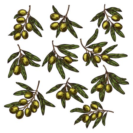 Green olive fruit branch sketch for food design