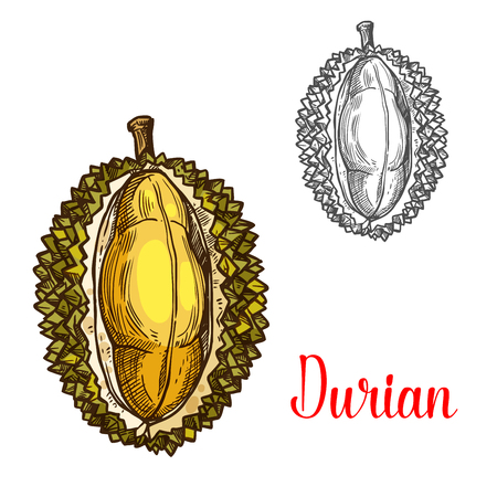 Durian vector sketch fruit cut icon Illustration