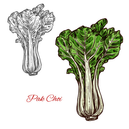 Pak choi salad lettuce color sketch icon. Vector botanical design of fresh farm grown vegetarian bok choy leaf vegetable for veggie salads or grocery market isolated symbol
