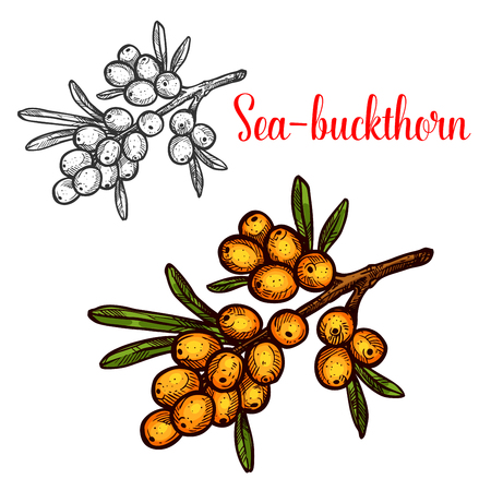 Sea buckthorn vector sketch isolated icon