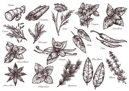 Spice vector isolated sketch icons for food seasoning or herbal spices and herbs. Flavorings of dill, ginger or cinnamon and oregano, basil and cumin, chili pepper and cinnamon or tarragon and vanilla Фото со стока - 101007918