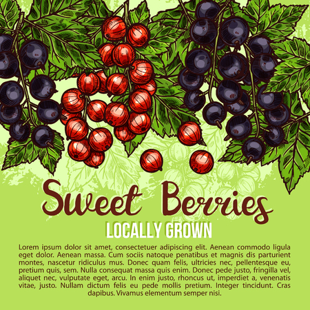 Sweet berries and fresh organic berry fruits sketch poster of farm grown blackcurrant and red currant. Vector design for farmer fruit store or market of juicy redcurrant or black currant harvest