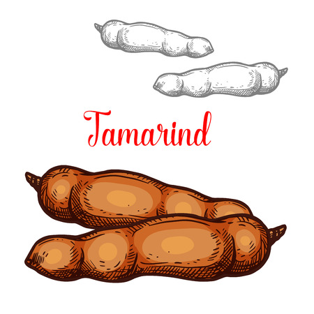 Tamarind exotic fruit sketch isolated icon. Vector botanical sketch design of whole or tropical tamarind plant nut pods for jam or farmer market and juice dessert