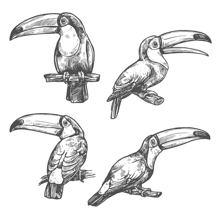 Toucan sketch set with tropical bird in different positions. American forest toco toucan bird sitting on branch with open beak. Exotic wild bird for t-shirt print and Amazonian wildlife symbol design. Stock Illustratie