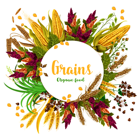 Grains and organic food poster of farm grown fresh and tasty organic corn, wheat and barley. Grains vector harvest of rye and oats or millet for agriculture and food production