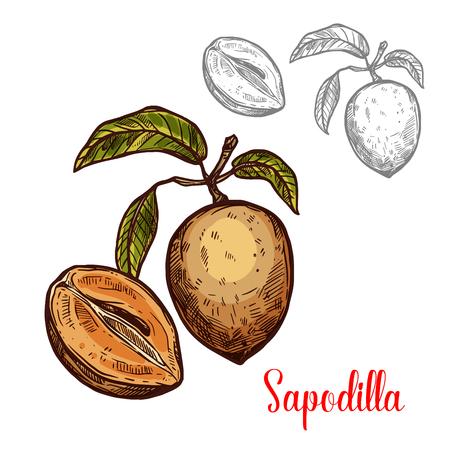 Sapodilla vector sketch fruit exotic icon Illustration