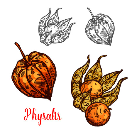 Physalis fruit or ground cherry berry sketch
