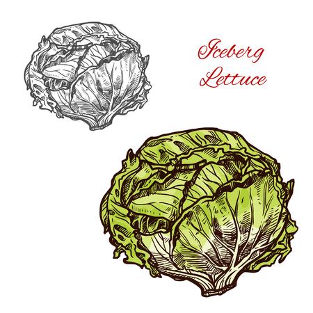 Iceberg lettuce vector sketch vegetable